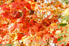 Eichenniederlassungen mit schönen Blättern Lizenzfreie Stockfotos