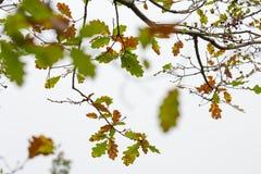 Eichenniederlassungen mit vibrierendem Grünem und gelb von den rostigen Blättern, lokalisiert auf weißem Hintergrund stockfotos