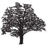 Eichenschattenbild mit Blättern im Schwarzweiss-Vektor im Stockfoto