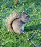 Eichhörnchen 1 Stockfoto