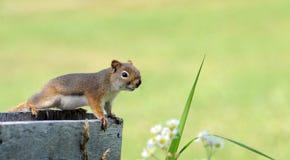 Eichhörnchen. stockbilder
