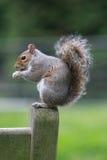 Eichhörnchen stockbild