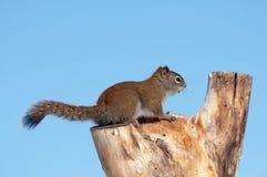 Eichhörnchen. Lizenzfreies Stockfoto