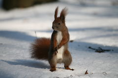 Eichhörnchen, Lizenzfreie Stockfotografie