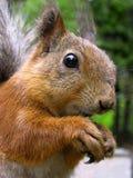 Eichhörnchen lizenzfreie stockfotografie