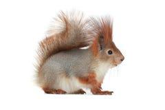 Eichhörnchen, Stockfoto