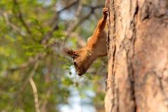 Eichhörnchen 4 Stockbild