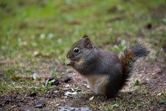 eichhörnchen Stockfotos