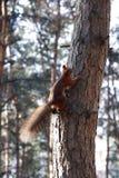 Eichhörnchen Lizenzfreie Stockfotos