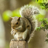 Eichhörnchen 0266 stockbild