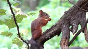eichhörnchen stock video footage