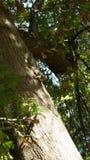 eichhörnchen Stockfotografie