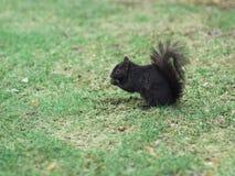 eichhörnchen lizenzfreies stockbild