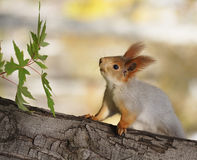 Eichhörnchen auf Baum Lizenzfreies Stockfoto