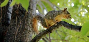Eichhörnchen auf Baum Stockbilder