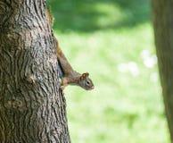 Eichhörnchen auf Baum gehend hinunter heraus schauen Lizenzfreie Stockbilder