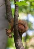 Eichhörnchen auf Baum mit Walnuss im Mund, unten schauend lizenzfreie stockfotografie