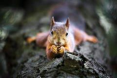Eichhörnchen auf Baum Nuss essend Stockbilder
