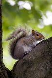 Eichhörnchen auf Baum vor grünen Blättern stockfotos