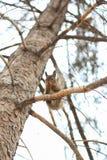 Eichhörnchen auf Baum am Wintertag Lizenzfreie Stockbilder