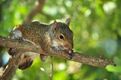 Eichhörnchen auf Baumast Lizenzfreie Stockfotografie