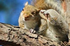 Eichhörnchen auf Baumast Stockbilder