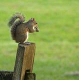 Eichhörnchen auf Beitrag lizenzfreie stockfotografie