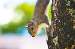 Eichhörnchen auf buntem Hintergrund des Baums Stockbilder
