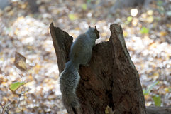 Eichhörnchen auf defekten Baumstamm gegen Laub Lizenzfreies Stockfoto