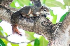 Eichhörnchen auf dem Baum stockbilder