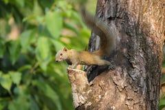 Eichhörnchen auf dem Baum Lizenzfreies Stockfoto