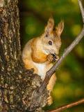 Eichhörnchen auf dem Baum Lizenzfreie Stockfotos