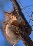 Eichhörnchen auf dem Baum gegen den blauen Himmel Lizenzfreies Stockfoto