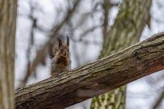 Eichhörnchen auf dem Baum isst Nuss Lizenzfreie Stockfotografie