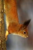 Eichhörnchen auf dem Baumstamm Lizenzfreie Stockbilder