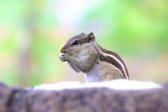 Eichhörnchen auf dem Blick Stockbild