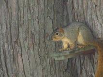 Eichhörnchen auf dem Blick heraus Lizenzfreie Stockbilder