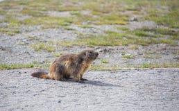 Eichhörnchen auf dem Feld, die Schweiz Lizenzfreies Stockbild