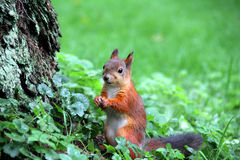 Eichhörnchen auf dem Gras Lizenzfreie Stockbilder