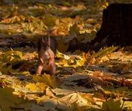 Eichhörnchen auf dem Laub des Ahornholzes Stockfoto