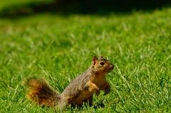 Eichhörnchen auf dem Lauf Stockfoto