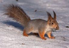 Eichhörnchen auf dem russischen Schnee Stockbild