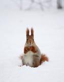 Eichhörnchen auf dem Schnee Stockbilder