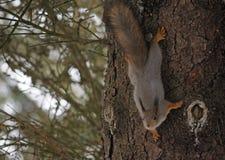 Eichhörnchen auf dem Stamm einer Kiefer Stockfotografie