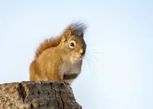 Eichhörnchen auf dem Stumpf, der nach Lebensmittel in Alberta, Kanada sucht Lizenzfreies Stockfoto