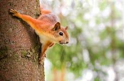 Eichhörnchen auf dem treel Lizenzfreie Stockbilder