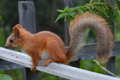 Eichhörnchen auf dem Zaun Lizenzfreie Stockfotografie