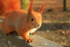 Eichhörnchen auf der Grenze Lizenzfreie Stockbilder