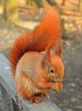Eichhörnchen auf der Grenze Stockfotografie