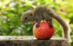 Eichhörnchen auf einem Apfel Lizenzfreie Stockbilder